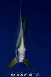 batfish/spadefish 60mm canon 350D by Stew Smith 
